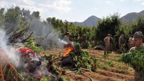 Ardahan'da 43 bin kök Hint keneviri ele geçirildi